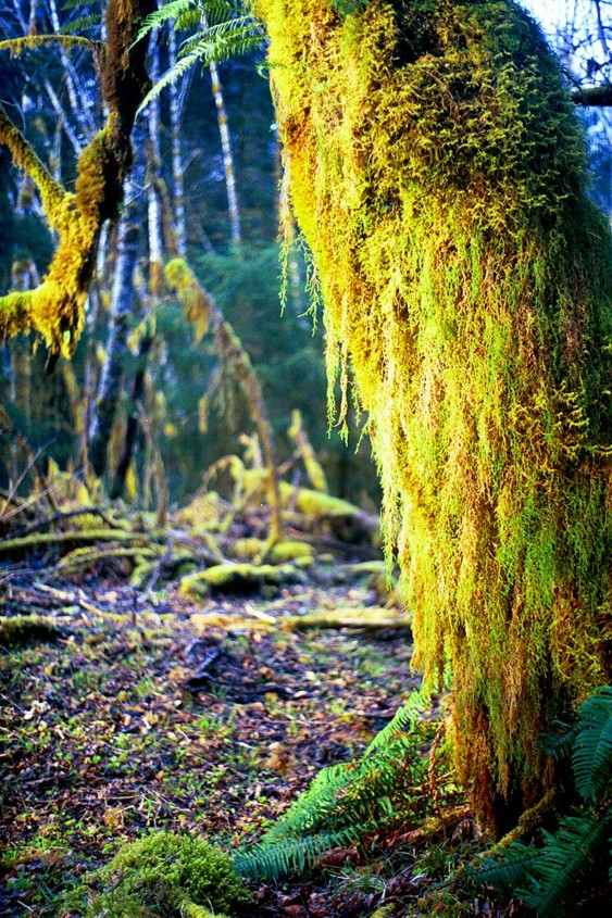 A moss covered tree in the Hoh rainforest in Olympic National Park.
