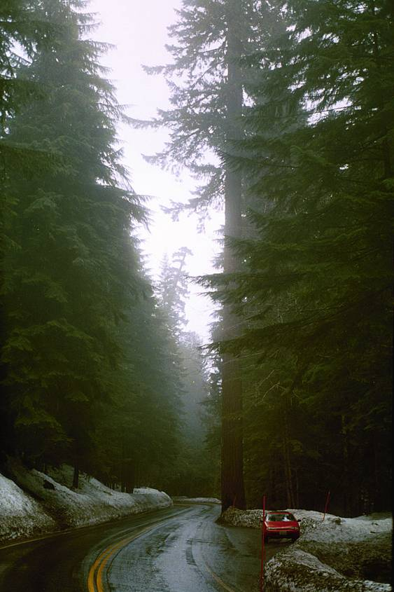 On the way down Mt Ranier with very tall trees.